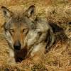 I lupi della Lessinia, chiesta al ministero una urgente revisione del precedente parere negativo