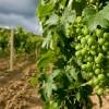 """Allarme Coldiretti: """"L'ulivo migra a nord e il vino ha un grado in più"""""""