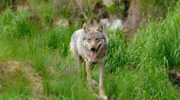 "Bolzano, agricoltori Bauernbund: ""Il lupo va abbattuto"""