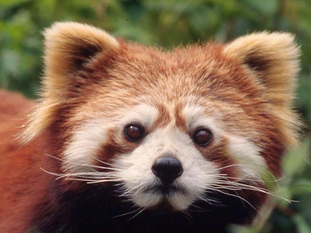 panda-rosso-3