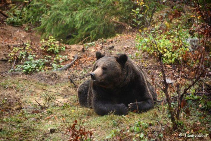 Aggredito dall'orso in Trentino, governatore ordina cattura dell'animale