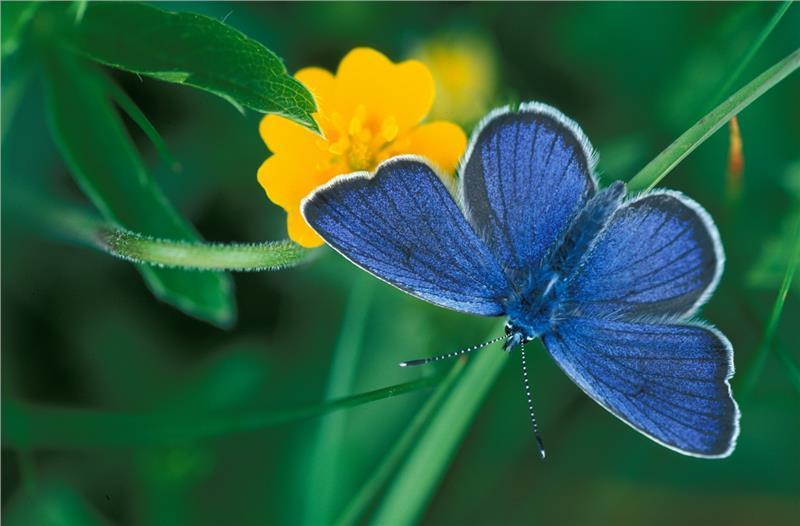 farfalla-licenide