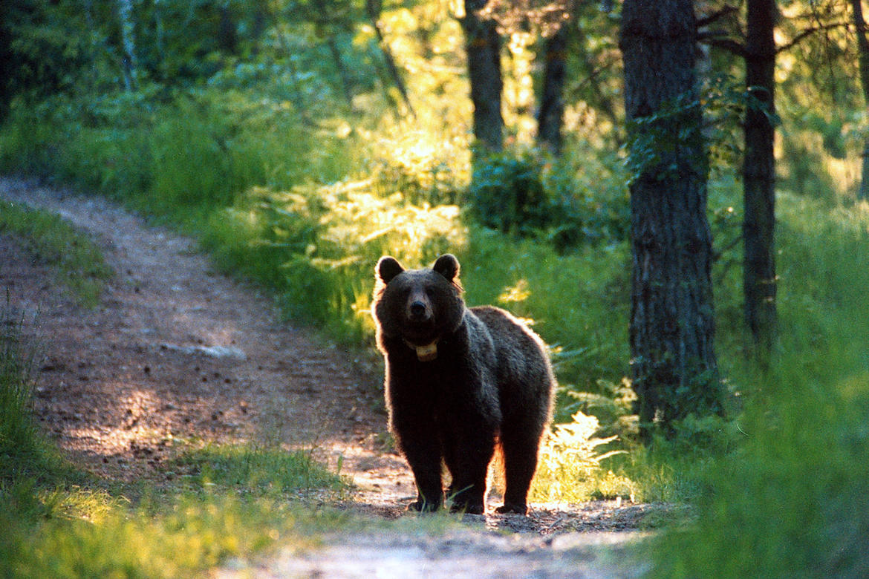 orso-radiocollare