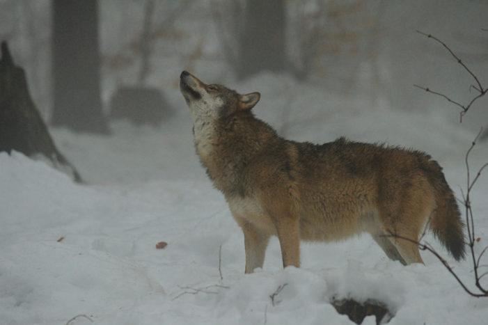 Lupo a NordEst, in Veneto 8 nuovi cani da guardia per allevatori. Lega interroga su avvistamenti in Val di Fassa