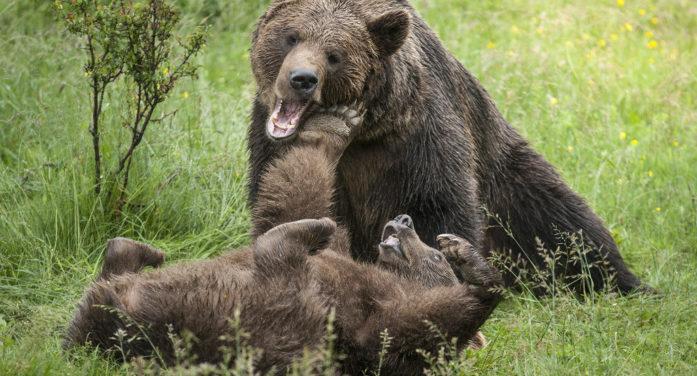 Orso in Trentino, sono in rete avvistamenti di femmine e cuccioli