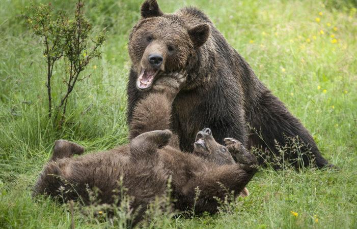 Orso in Trentino, avvistate le prime cucciolate sul Brenta