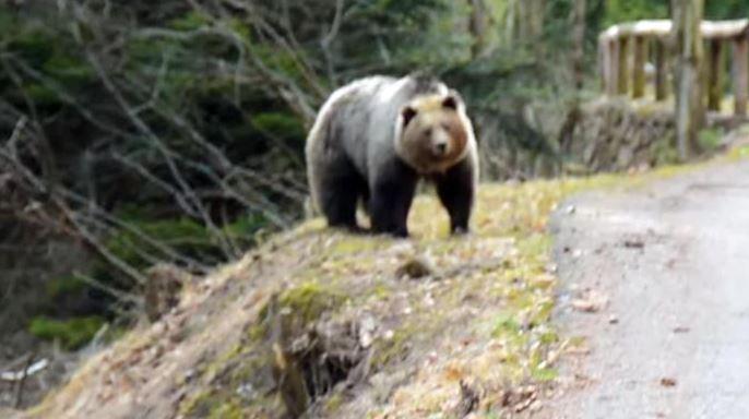 Trentino, Giovane in moto incontra un orso in Val Rendena, ma preferisce cambiare strada