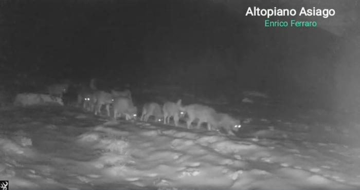 Branco di lupi ripreso ad Asiago
