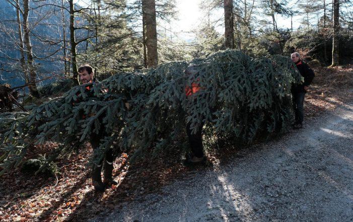 Dolomiti, Un abete bianco dal Primiero per Natale al Quirinale: Guarda le interviste
