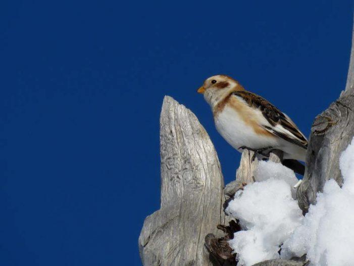 """Dolomiti, Nel Parco Paneveggio Pale di San Martino avvistato lo """"Zigolo delle nevi"""""""