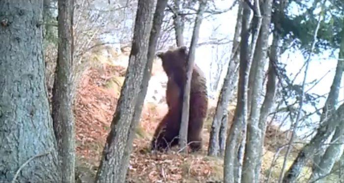 Orso si gratta sull'albero, il video diventa virale